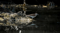 Common Sandpiper - Chevalier Guignette (Franck Zumella) Tags: common sandpiper chevalier guignette bird oiseau wildlife water lake lac eau reflection reflexion nature animal