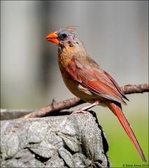 Northern Cardinal (Cardinalis cardinalis) (Steve Arena) Tags: northerncardinal cardinaliscardinalis westborough westboro worcestercounty massachusetts 2019 nikon d750 bird birds birding