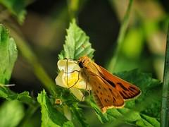 Fiery Skipper (Tex-Mex Wildlife) Tags: jamesbatt houston houstonnature bayoubend fieryskipper getolympus olympus