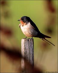 Barn Swallow (Hirundo rustica) (Steve Arena) Tags: barnswallow hirundorustica heirloomharvest heirloomharvestcsa westborough westboro worcestercounty massachusetts 2019 nikon d750 bird birds birding