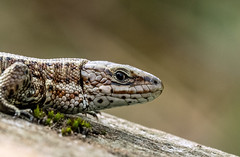 I have got my eye on you (Geoffrey Tibbenham) Tags: common lizard macro outdoors openspace wildlife reptile norfolk nature strumpshaw fen fuji xt2 80mm