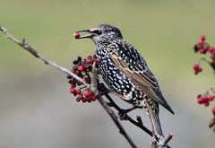 A berry a day... (Arnt Kvinnesland) Tags: starling bird outdoor rowanberries stær stare rognebær oktober høst sandhåland karmøy norway