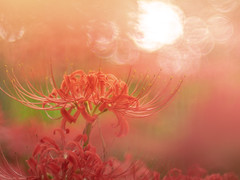 Your long eyelashes (Tomo M) Tags: redspiderlily flower nature plant soft bokeh light autumn trioplan 巾着田