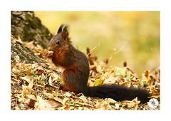 Écureuil_E11 (ANTOINE ARROBAS) Tags: écureuil treesquirrel esquiloflorestal scoiattolo eichhörnchen