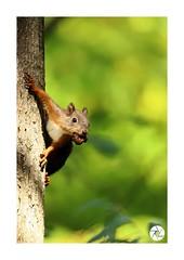 Écureuil_E10 (ANTOINE ARROBAS) Tags: écureuil treesquirrel esquiloflorestal scoiattolo eichhörnchen