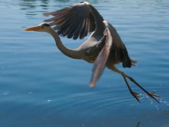 london bird (kevinvett) Tags: héron hyde park london londre bird