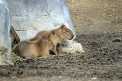 Capybaras (olivier.ghettem) Tags: zoodeparis zoodevincennes zoo parczoologiquedeparis paris amériquedusud amazonie capybara cabiai hydrochoerushydrochaeris mammifère rongeur capibara