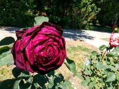 dead rose (xandriaam) Tags: nature rose deadnature flowers roses deadroses romania ro redrose iasi