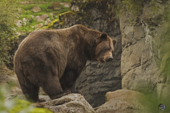 Turn and stare 2019 (TheArtOfPhotographyByLouisRuth) Tags: bear brownbear 200500mmlens nikond810 everythingnature animal outdoor mamal