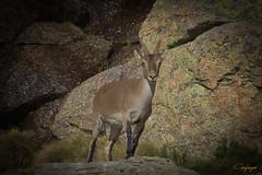 Regalos de Domingo...273/365 (cienfuegos84) Tags: naturaleza cabritas peñalara montaña mountain sierra
