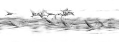 Panorama (IIIfbIII) Tags: bird birdphotography blackandwhite bw wildlife wildlifephotography white water wasser weis nature naturephotography naturfotografie natur kranich grue grus gris grusgrus grey photography panoama art drausen outdoor herbst autumn