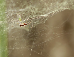 Here's the spider... (cotinis) Tags: arthropod spider araneae linyphiidae linyphiinae frontinella frontinellapyramitela sheetwebspider bowlanddoilyweaver northcarolina piedmont canonef100mmf28macrousm arachtober inaturalist