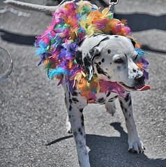 Spots & Feathers (Scott 97006) Tags: dog dalmatian canine animal colors feathers parade cute