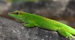 Giant day gecko - Phelsuma grandis (johco266) Tags: phelsumagrandis giantdaygecko daygecko gecko lizard reptile reptielen reptiel lagarto natuur nature naturaleza macro macrophotography madagascar diegosuarez nikon coth alittlebeauty coth5 naturethroughthelens vividstriking