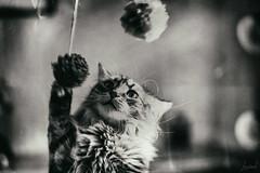 Les pompons. (LACPIXEL) Tags: pompon chat cat gato pet animal mascota jouer jugar play playing pompón borla pompom bobble laine wool lana amy amyff mainecoon sony flickr noiretblanc blancoynegro blackwhite lacpixel