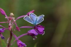 Eastern Batton Blue (KevPBur) Tags: canon70200mmf28lisiiusm canon80d canonextenderef14xiii easternbluebatton finland hevossaari pseudophilotesvicrama suomi blue butterfly flowers holiday male summerhouse