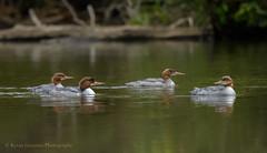 Common Mergansers (Kevin James54) Tags: lakegalena nikon500mmpff56 nikond850 peacevalleypark animals avian bird commonmergansere kevingianniniphotocom merganser mergusmerganser