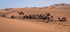 Sahara desert camels (graham2034) Tags: sahara desert camels sand dunes morocco