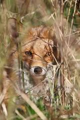 Wildlife (esxkkzic82) Tags: wildlifephotography nature autumn blendingin camoflage contryside fox wildlife
