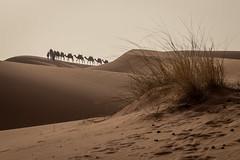 Camels in the Sahara desert (graham2034) Tags: camels sahara desert morocco sand