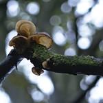 tree ears