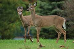 Doe (Sandra Mahle) Tags: pennsylvaniawhitetaildeer deer doe wildlife nature wildlifephotography naturephotography canon canonphotography animals animal ngysa