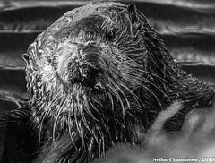 Eye Contact (Srihari Yamanoor) Tags: sea otter mammals marine life wildlife endangered species conservation environment ecology preservation california coastline monochrome black white animals in the wild outdoors animal biology zoology water ocean lagoon ca 1 nature head closeup enhydra lutris pacific