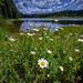 Shasta daisies along Stump Lake near Highway 138 in the Umpqua National Forest, Oregon