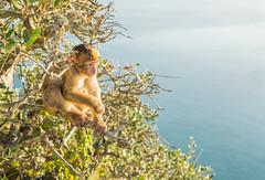 Monkey business (grbush) Tags: barbarymacaque gibraltar monkey nature animal creature sonyilce7 macaque barbaryape