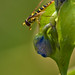 Hoverfly on a Dayflower
