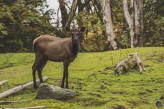 Beautiful Cow Elk 2019 (TheArtOfPhotographyByLouisRuth) Tags: elk deerfawnbambiwoodsoutdoorsanimalswildlife animal nikond810 200500mmlens cow femaleelk prophoto beautifulcapture artofimages netgeo award everythingnature wonderfulworldofwildlife
