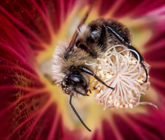 Practical Magic (Kathy Macpherson Baca) Tags: bee insect macro earth flower canon world nature bumble planet pollen preserve red invert