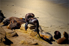 Seal Lions (grandmadebbie86401) Tags: california pacificcoast sealions ocean beach seals