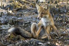 Che noia questi umani (Milo Manica) Tags: vulpesvulpes mammal animal fox volpe canon nature wildlife