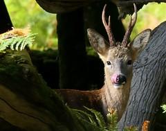 Roe Buck (CJT29(No longer Pro)) Tags: roebuck deer roedeer mammal newforest acresdown hampshire cjt29