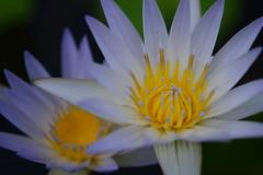Water Lily (vguzman1120) Tags: d5300 nikon nikkor flower water lily waterlily ftbg macrophotography