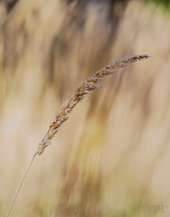 Solitary at Huntington Library (lgflickr1) Tags: huntingtonlibrary bokeh blur brown yellow golden gold daytime dof exterior flora tallgrass grass nopeople nature outdoor outside pretty peaceful sony select single one solitary a9 h