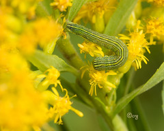 asteroid (crgillette77) Tags: pennsylvania bradfordcounty caterpillar asteroid cuculliaasteroides goldenrod