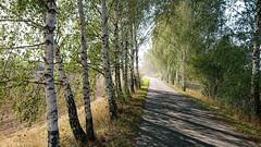 Birkenweg (PauPePro) Tags: niederlausitz oderneiseradweg radltour usedom forst brandenburg deutschland
