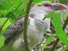 Scythrops novaehollandiae 15 (Barry M Ralley) Tags: elizabeth beach pacific palms nsw australia ausbird ausbirds barry m ralley barrymralley channelbilled cuckoo scythrops novaehollandiae