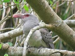 Scythrops novaehollandiae 14 (ftbirds) Tags: elizabeth beach pacific palms nsw australia ausbird ausbirds barry m ralley scythrops novaehollandiae channelbilled cuckoo