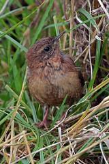 wren (DODO 1959) Tags: wildlife wren avian fauna birds animal outdoor nature songbird canon 100400mmmk2 7dmk2 carmarthenshire wales wwt llanelli