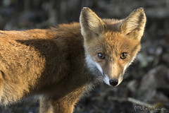 Baciata dal sole (Milo Manica) Tags: vulpesvulpes mammal animal fox volpe canon nature wildlife