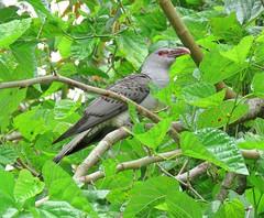Scythrops novaehollandiae 5 (Barry M Ralley) Tags: elizabeth beach pacific palms nsw australia ausbird ausbirds barry m ralley barrymralley channelbilled cuckoo scythrops novaehollandiae