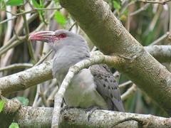 Scythrops novaehollandiae 14 (Barry M Ralley) Tags: elizabeth beach pacific palms nsw australia ausbird ausbirds barry m ralley barrymralley channelbilled cuckoo scythrops novaehollandiae