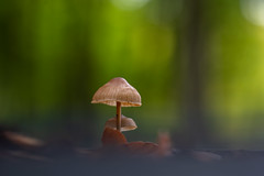 Mushrooms (michel1276) Tags: mushroom mushrooms pilze pilz wald forest woods nature natur samyang samyang13520 sonya7iii bokeh bokehlicious herbst autumn