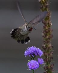 Backyard Bird (nickinthegarden) Tags: annashummingbird abbotsfordbccanada