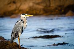 Grey Heron (Dec Roche) Tags: greyheron wildlife wexford southeastireland repofireland nature sea nikon nikon300mmf4 nikond7000 tc14eii teleconverter