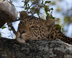 Leopard (RosePerry1107) Tags: leopard botswana africa sony camera nat wildlifephotography