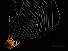 Sticky Droplets (zxgirl) Tags: arthropods arachnida em5ii 60mmomzd trip travel autumn macro nature animals spiders tx web orbweaver oleanderacres sotx2018 texas unitedstatesofamerica mission bug pb230985 animal spider arachnid bugs arachnids animalia arthropoda arthropod araneae orbweavers araneidae chelicerata araneomorphae chelicerate entelegynes chelicerates